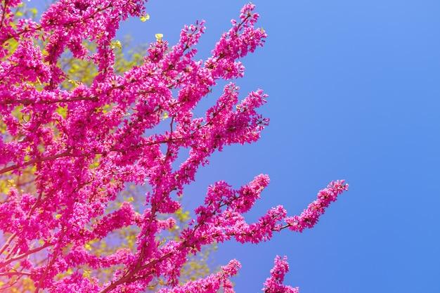 ピンクの桜の花が咲くタイ。 Premium写真
