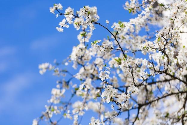 青い空を背景に白い春の花 Premium写真