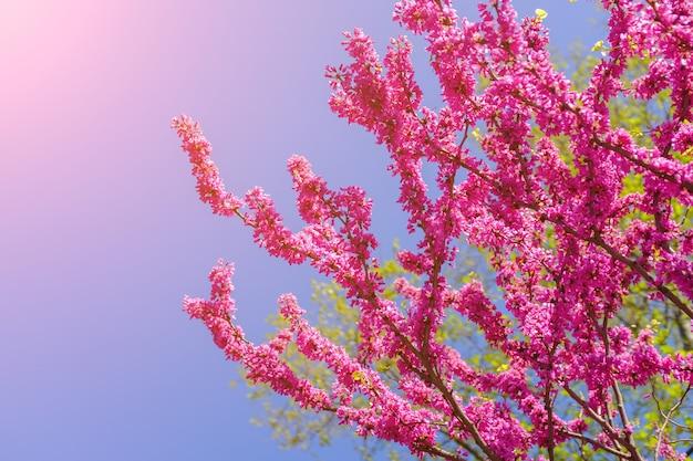 ピンクの桜の花が咲くタイ Premium写真