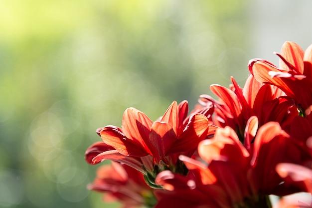 緑色の背景で赤い菊の花束。 Premium写真