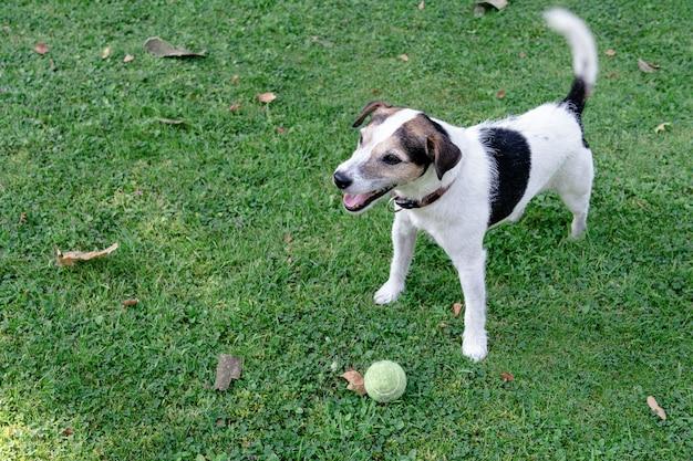 犬種ジャックラッセルテリアは芝生の上に立ち、ボールを守っています Premium写真