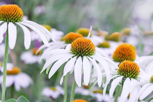 Цветки эхинацеи белого цвета с оранжевым средним крупным планом. концепция праздника, растения, сад, ландшафтный дизайн Premium Фотографии