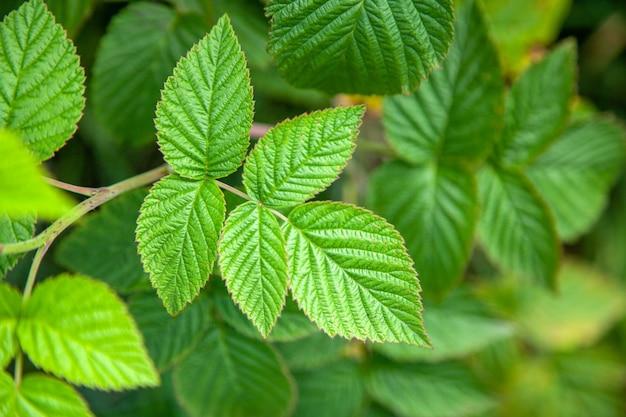 Зеленые листья малины в летний день Premium Фотографии