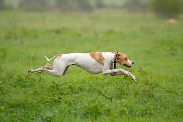 Собака бежит по зеленой траве, фокус на собаке, стрельба с панорамированием. Premium Фотографии