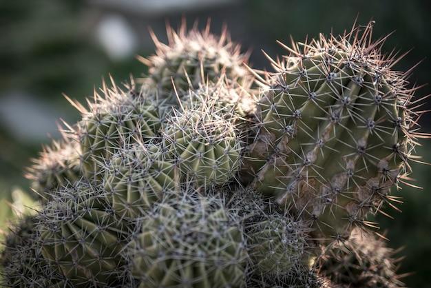 Семья кактусов Premium Фотографии