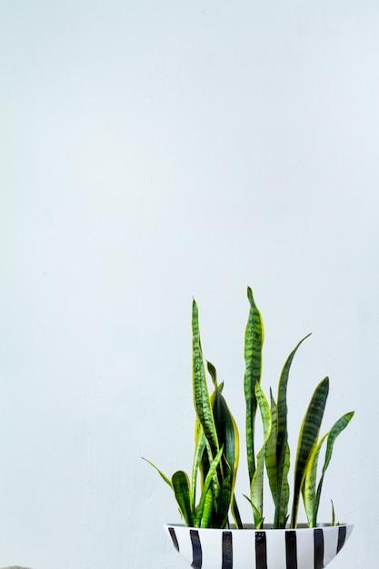 Большое растение сансевиерия в длинном черно-белом горшке стоит напротив белой текстурной стены. Premium Фотографии