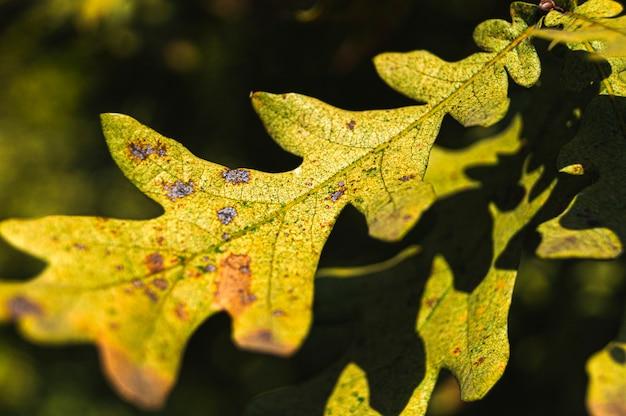 オークの葉をクローズアップ。 Premium写真