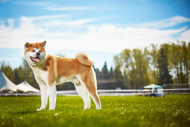 日本の犬の秋田犬は散歩に Premium写真