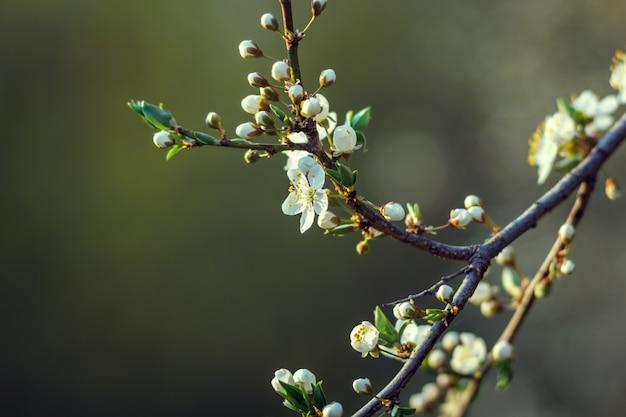Вишневые маленькие и простые цветы весной. вишневый цвет, вишневое дерево, бутон, малая глубина резкости. Premium Фотографии