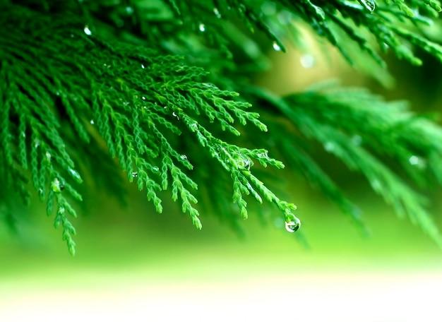 露と松の枝 Premium写真