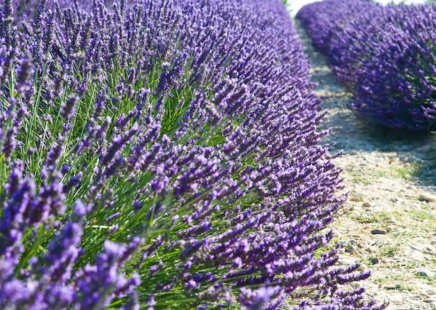 Лаванда цветок цветущие душистые поля Premium Фотографии