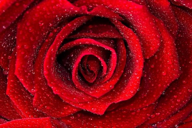 赤いバラを閉じる Premium写真