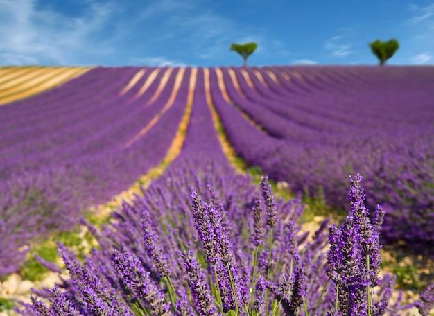 ラベンダーの花が咲きます Premium写真