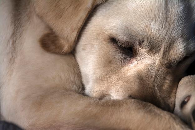眠っている茶色の犬 無料写真