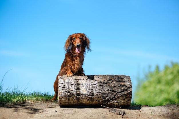 サニークリアの森で犬種ダックスフント。 Premium写真