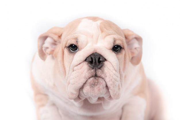 Бульдог породы щенка английский на белой предпосылке. изолят. Premium Фотографии
