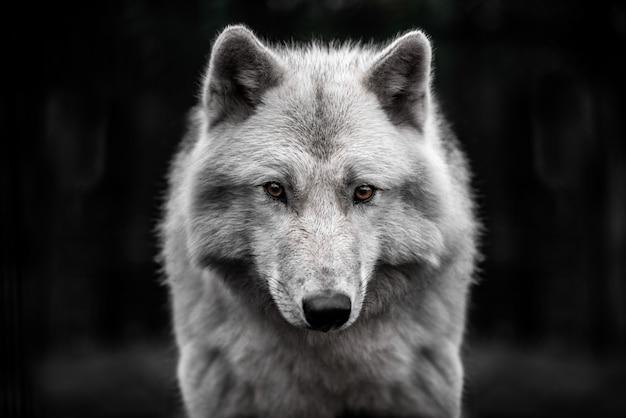 北極オオカミのハンサムな若い男性の肖像画。 Premium写真