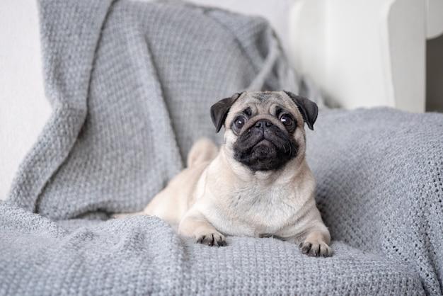 ソファに横になっている子犬の品種パグ。 Premium写真