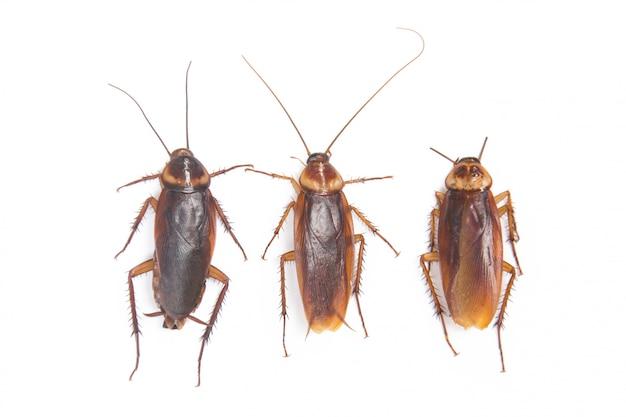 ゴキブリ分離ホワイトバックグラウンド Premium写真