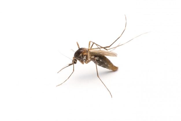 白で隔離される蚊 Premium写真
