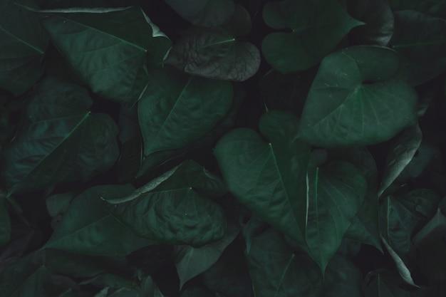 緑のサツマイモの葉 Premium写真