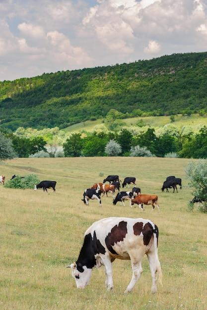 牧草地で放牧牛の群れ Premium写真