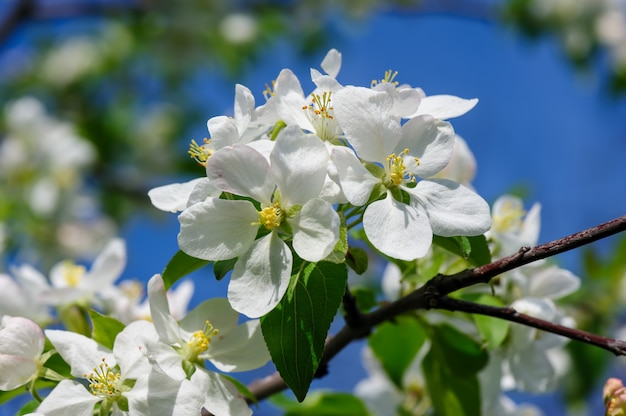 Цветущий яблоневый цветок Premium Фотографии