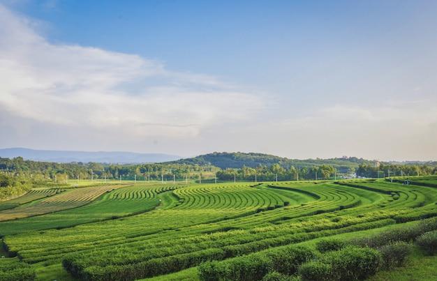 ティーガーデンビューは、チェンライ県シンパークに位置しています。 Premium写真