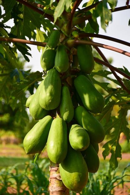 タイの庭でパパイヤの木のパパイヤの果実 Premium写真