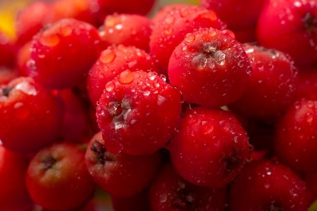 赤いナナカマドの果実。熟した山の灰ベリーのクローズアップ Premium写真
