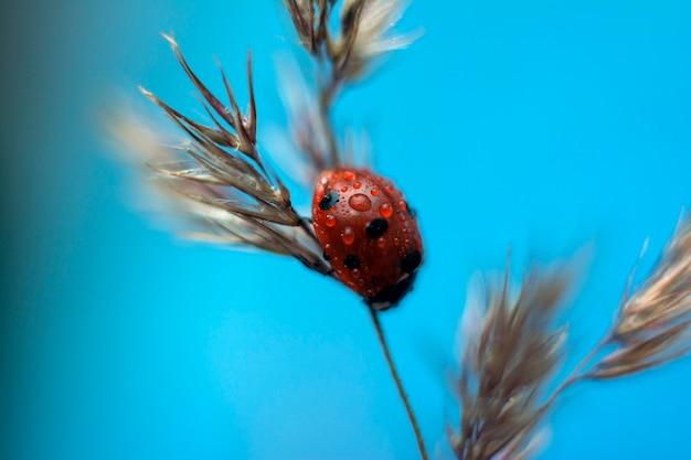 てんとう虫は夏に乾いた草の上に座っています。 Premium写真