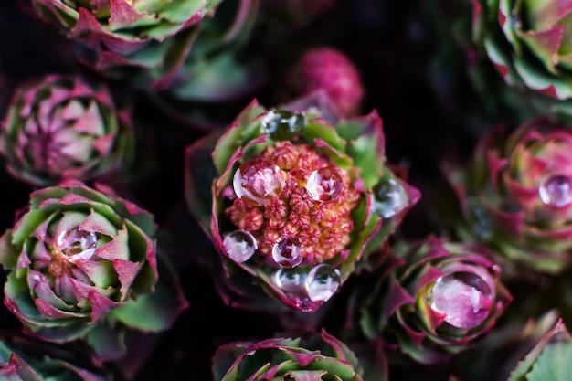 Бутон цветка родиолы розовый в падениях воды. эффектное фото макроса, естественная предпосылка. Premium Фотографии