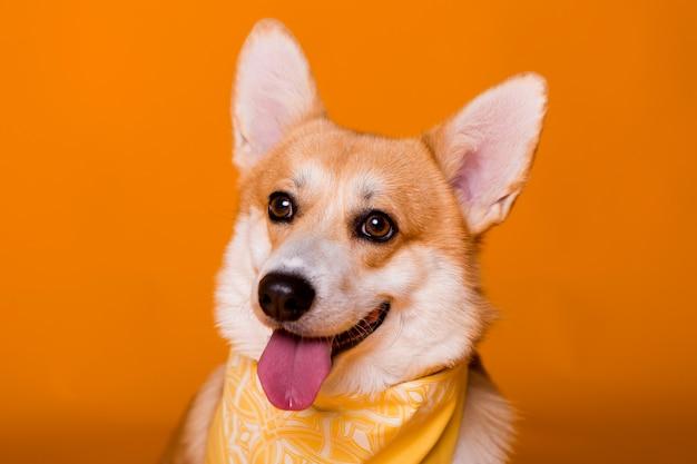 Собака породы корги в желтой бандане на оранжевой Premium Фотографии