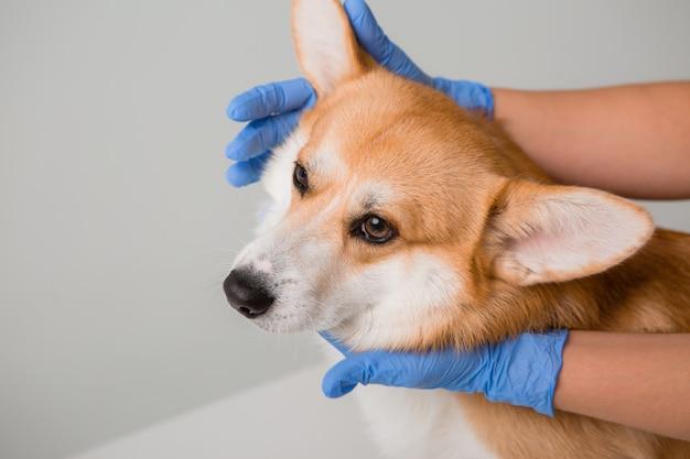 獣医は医療用手袋でコーギー犬を調べます Premium写真
