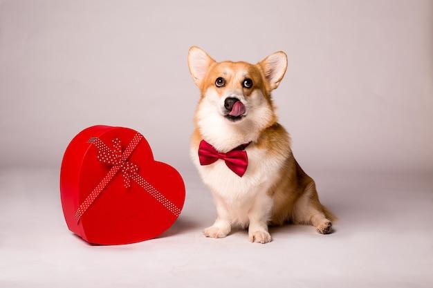 赤いハート型のギフトボックスと白い壁に赤いバラのコーギー犬 Premium写真