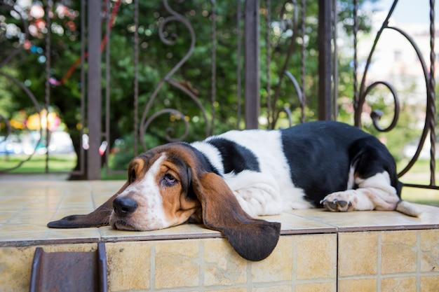 床にバセットハウンド犬 Premium写真