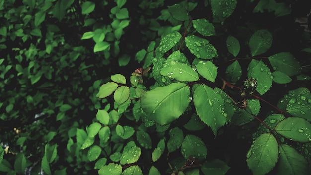 バラの鮮やかな緑の葉に露が値下がりしました Premium写真