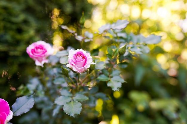 暖かい晴れた日の庭のピンクのバラ Premium写真