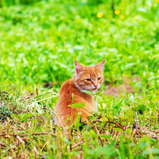春や夏の朝に緑の芝生で生姜猫 Premium写真