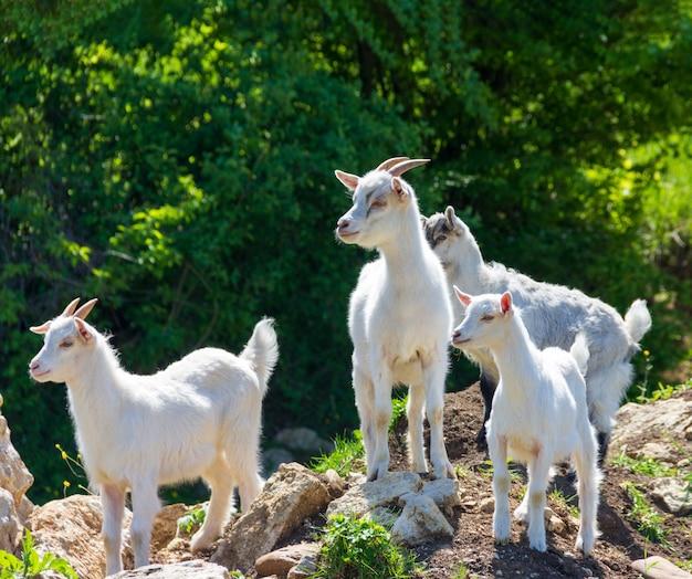 若い白ヤギの群れが晴れた春の日に牧草地に放牧します。 Premium写真