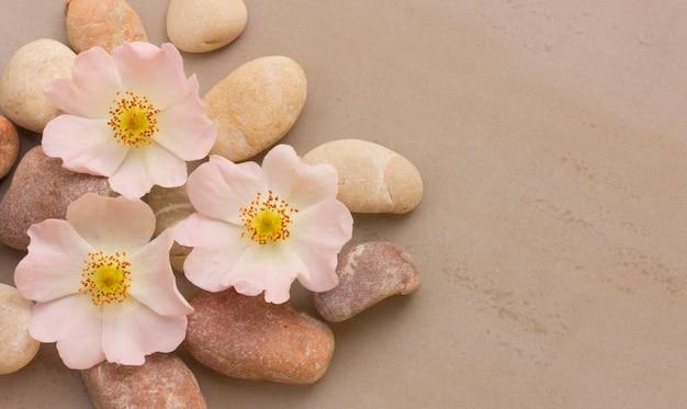Три розовых цветка дикой розы на гальке на сером фоне, с пространством для размещения информации. спа камни лечение сцены, дзен, как концепции. плоская планировка, вид сверху Premium Фотографии