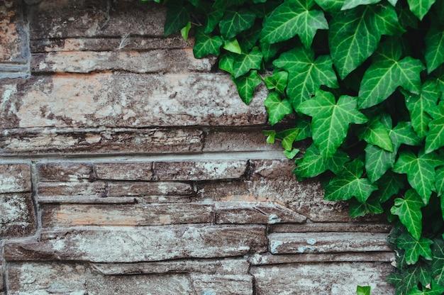 古い石の壁と緑のツタの葉。 Premium写真