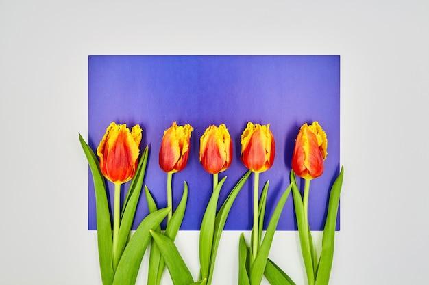 コピースペースと白紫の背景の上に横たわる赤黄色のチューリップのトップビュー Premium写真