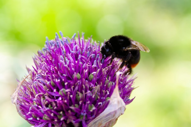 Крупный план шмеля на фиолетовом цветке на летний день Premium Фотографии