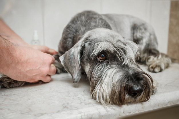 Ветеринар делает шприц для проверки крови. анализировать здоровую собаку. порода - шнауцер Premium Фотографии
