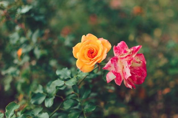 春の庭の黄色いバラの美しいブッシュ。バラの庭。 Premium写真