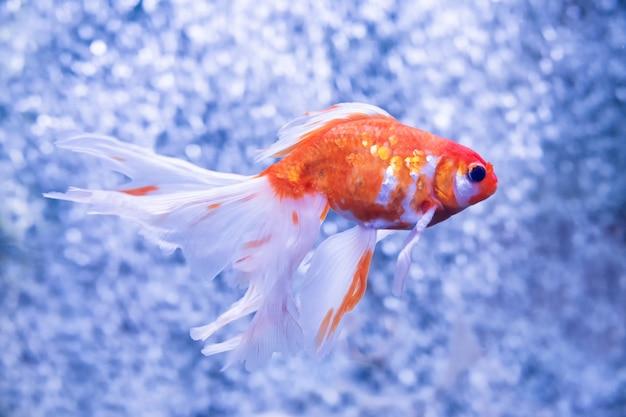 気泡の背景に金魚 Premium写真