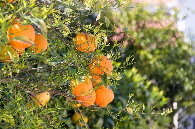 Закройте вверх оранжевых деревьев в саде, селективного фокуса. спелые апельсины висят на апельсиновом дереве Premium Фотографии