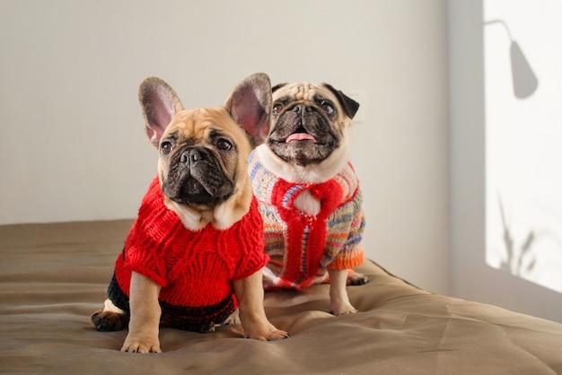 Счастливые домашние животные мопс и французский бульдог, одетые в вязаные свитера дома, ждут своего хозяина. смешные собаки готовы выйти на улицу. одежда для собак, мода Premium Фотографии