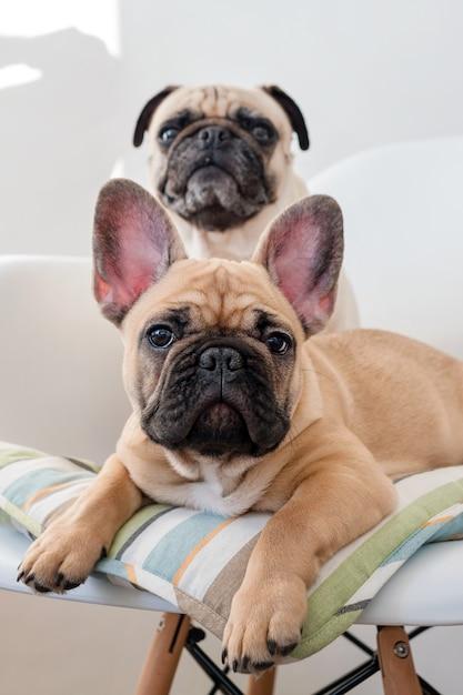 Счастливая собака мопса любимчиков и французский бульдог сидя на стуле смотря камеру. собаки ждут еду на кухне Premium Фотографии